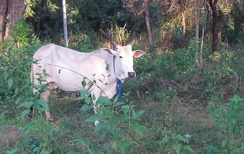 Our cow. Its name is 'Raju'.