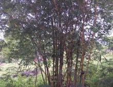 Bamboo is one of the trees that really useful for us to make chairs and tables.